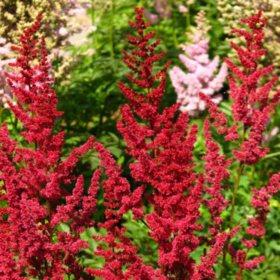 (6.0-Qt.) Astilbe Pot - Southwestern Gardening