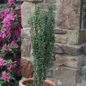 (10-Qt) Sky Pencil Holly Pot - Northeast Gardening