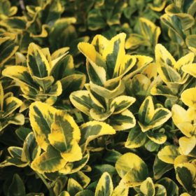 (10-Qt) Euonymus Pot - Northeast Gardening