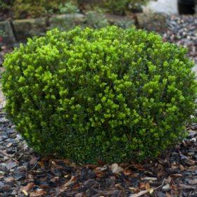 (10-Qt) Boxwood Pot - Northeast Gardening