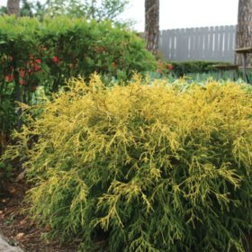 (10-Qt) Falsecypress Pot - Northeast Gardening