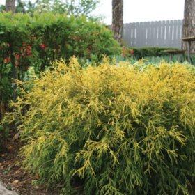 (10-Qt) Falsecypress Pot - Northeast Gardening