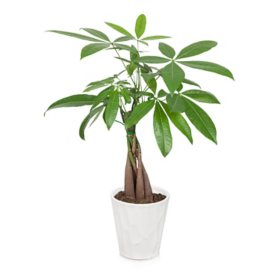 "5"" Money Tree"