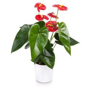 """5"""" Anthurium Ceramic Planter"""