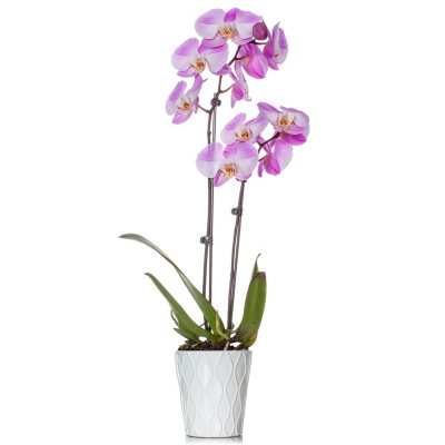 Coral Just Add Ice JAI162 Orchid 5 in Diameter