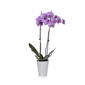 "5"" Orchid in Decorative Plastic Pot"