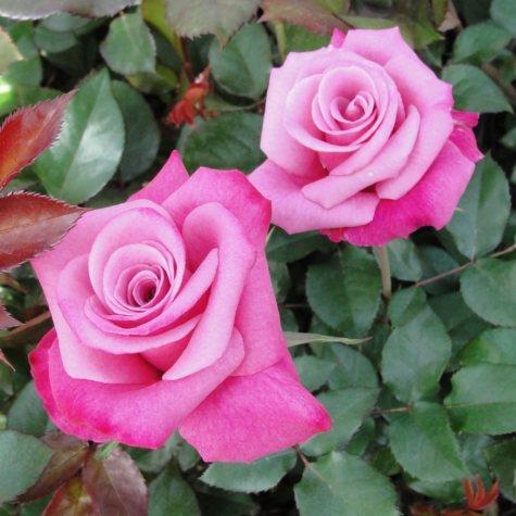 Deja Blu My Bouquet Rose Bush