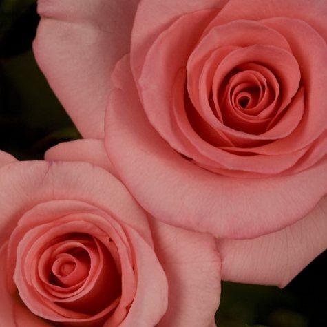 Flawless My Bouquet Hybrid Tea Rose Bush