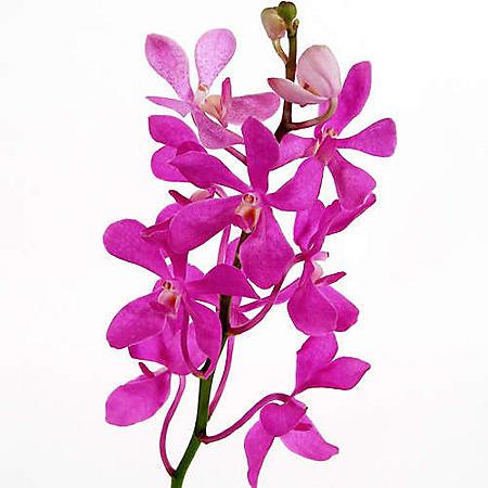 Orchids, Mokara Pink (60 stems)