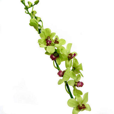 Orchids - Dendrobium Green - 70 Stems