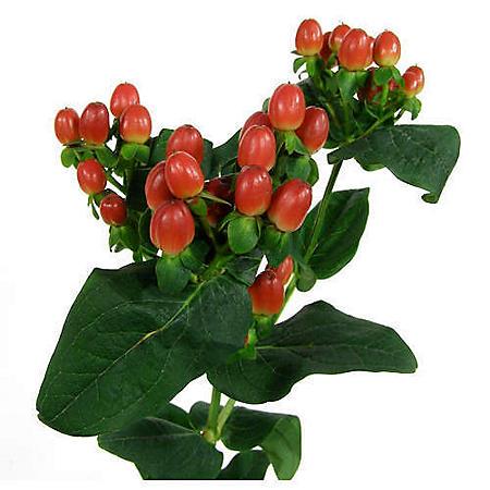 Hypericum, Red (100 stems)