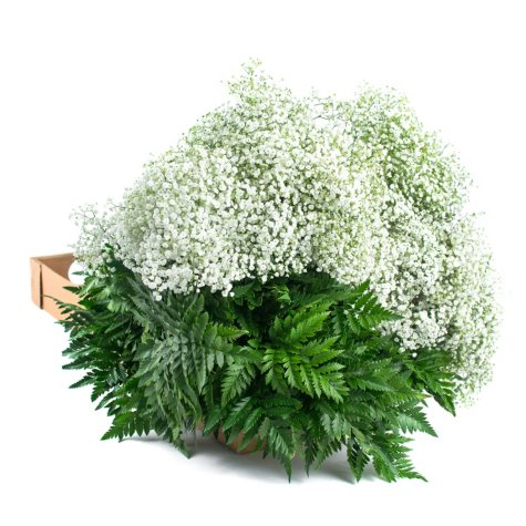 Gypsophila and Leatherleaf (10 bunches)