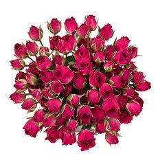 Spray Roses, Hot Pink (120 stems)