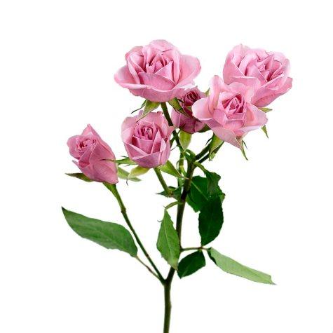 Spray Roses, Light Pink (120 stems)