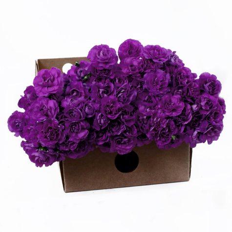 Florigene Mini Carnations, Moonberry (200 stems)