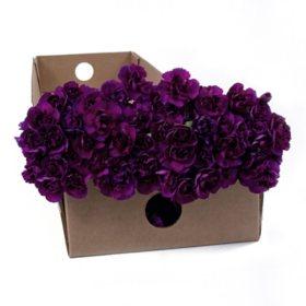Florigene Mini Carnations, Moonique (200 stems)