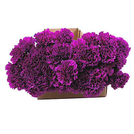 Florigene Carnations, Moonshade (140 stems)