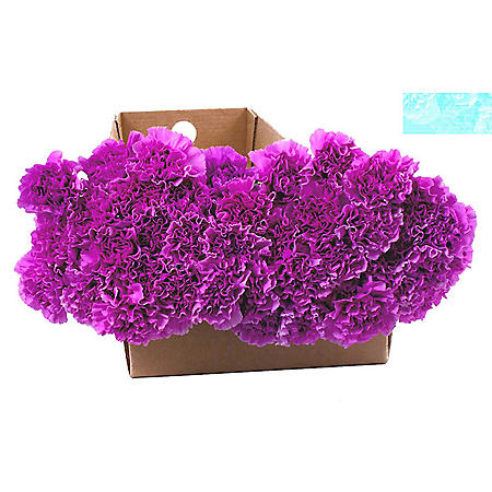 Florigene Carnations, Moonlite (140 stems)