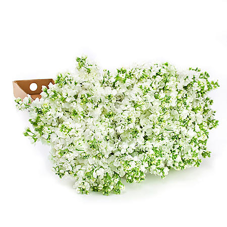 White Stock (100 Stems)
