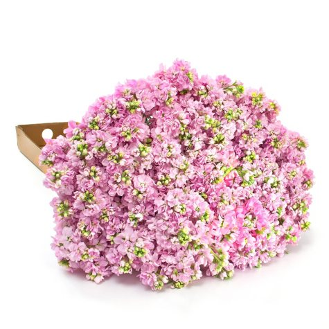 Stock Pink - 100 Stems
