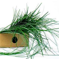 Bear Grass Green Filler - 640 Stems