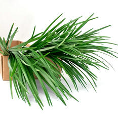 Lily Grass Filler Flower - 250 Stems