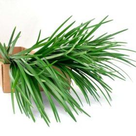 Lily Grass Filler Flower - 250 Stems