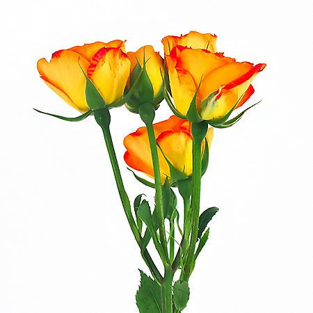Spray Roses, Mambo (100 stems)