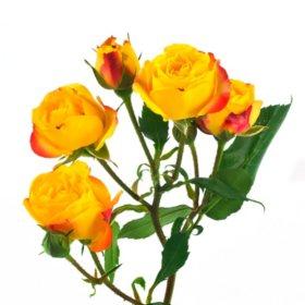 Spray Roses, Rumba (100 stems)
