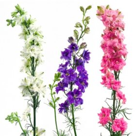 Larkspur, Assorted Colors (100 stems)