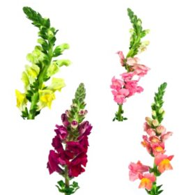 Snapdragons - Assorted Colors - 100 Stems
