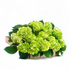 Mini Hydrangea, Green (30 stems)