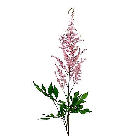 Astilbe Flowers, Pink (100 stems)
