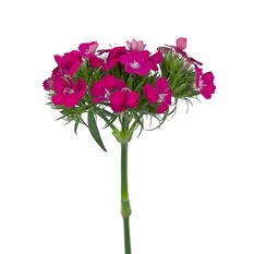 Dianthus Flowers, Pink (100 stems)