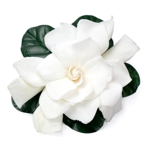 Gardenias (choose 12 or 36 blooms)