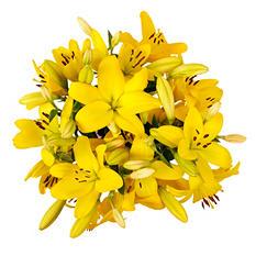 LA Lilies, Yellow (50 or 100 stems)