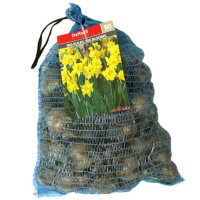 Daffodil Yellow Trumpet - Package of 50 Dormant Bulbs
