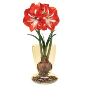 Amaryllis in Glass Vase
