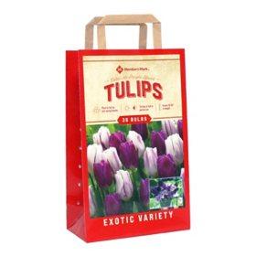 Tulip Color Me Purple