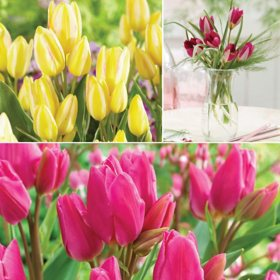 Bouquet Tulips-Package of 40 Dormant Bulbs