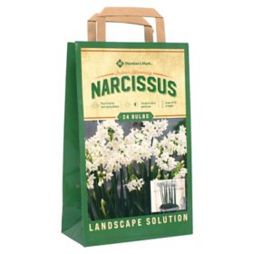 Narcissus Paperwhite - Package of 25 Dormant Bulbs