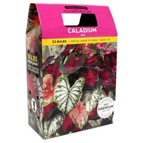 Caladium Mixed Colors - 40 dormant bulbs