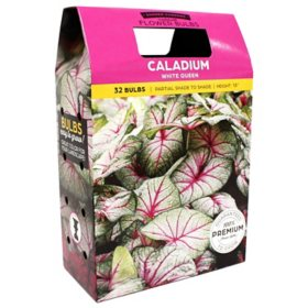 Caladium White Queen - 40 Dormant Bulbs