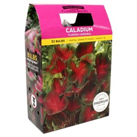 Caladium Florida Cardinal - Package of 40 Dormant Bulbs
