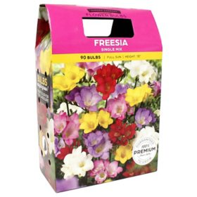 Freesia Single Mixed Bulbs