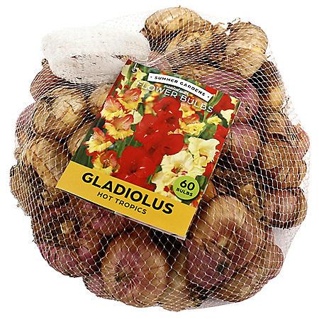Hot Tropics Gladiolus - 75 Dormant Bulbs