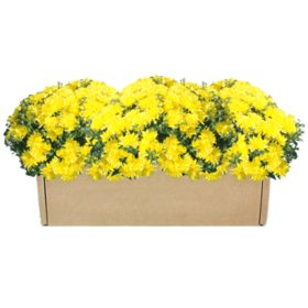 Garden Mum Multipack Box - 3 Pack