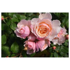 2-Pack Bareroot Moonlight in Paris Rose Bush