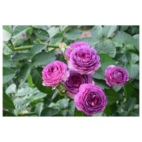 2-Pack Bareroot Climbing Lavender Crush Rose Bush