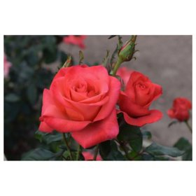 2-Pack Bareroot Ring of Fire Rose Bush